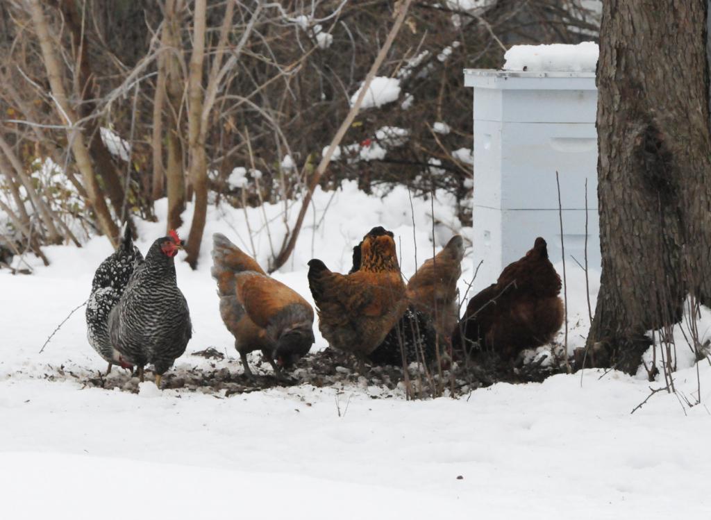 Советы по содержанию кур зимой