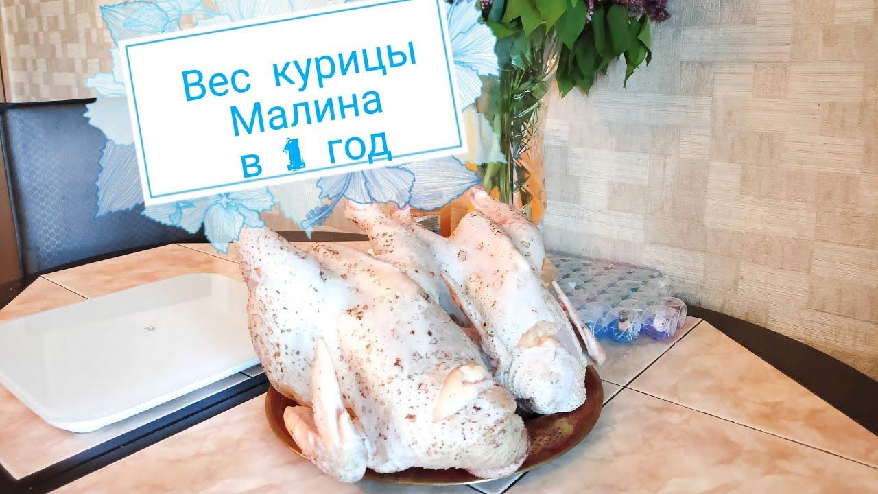 Мехеленская кукушка - мясная порода кур. Описание, характеристики, нюансы выращивания и ухода, кормление и инкубация