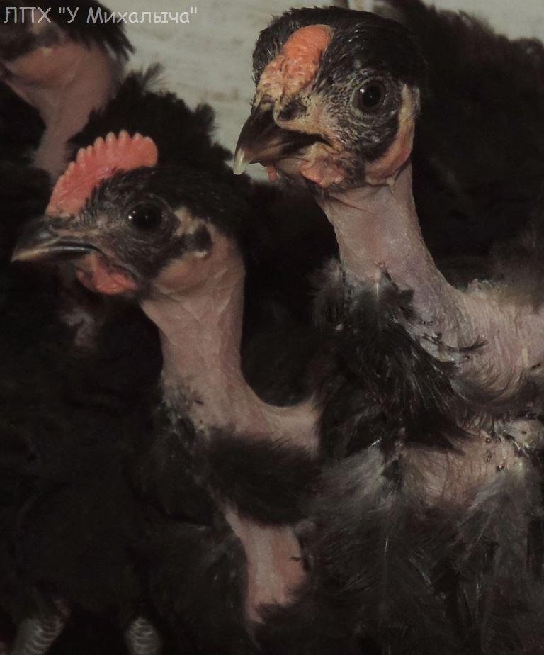 Голошейная - мясо-яичная порода кур. Описание, характеристики, разведение, кормление и инкубация