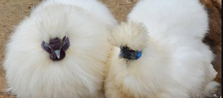 Шелковые куры и 8 интересных особенностей породы