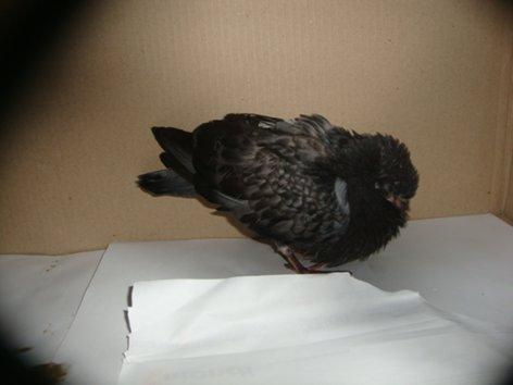 Где прячутся и как выглядят птенцы голубей