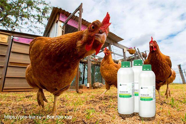 Зачем заквашивать и ферментировать корм для кур