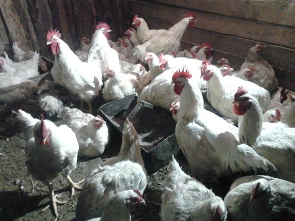 Бройлер Арбор Айкрес - мясной кросс кур. Описание, характеристика, кормление, выращивание, отзывы
