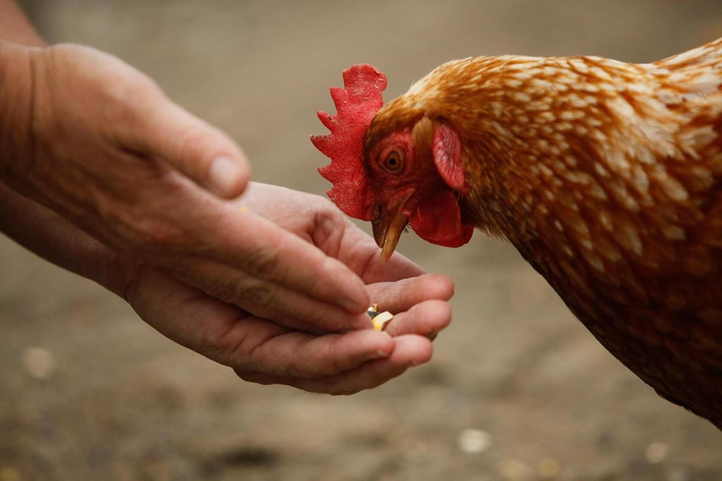 Пенедесенка - мясо-яичная порода кур. Описание, характеристика, выращивание и уход, инкубация