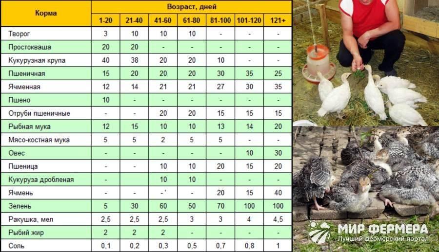 Выращивание индюков в домашних условиях