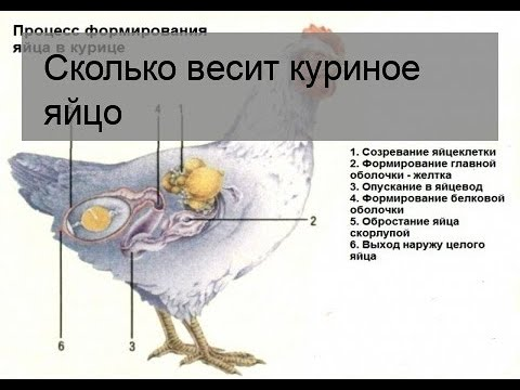 Каким образом куры несут яйца: особенности яйценоски