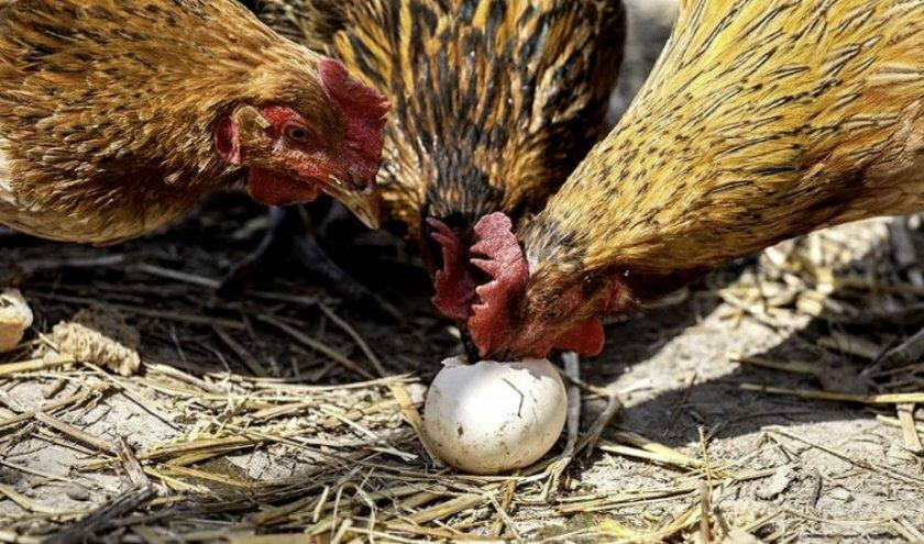 Почему не несутся куры: в чем причина, что делать и как вернуть яйценоскость?