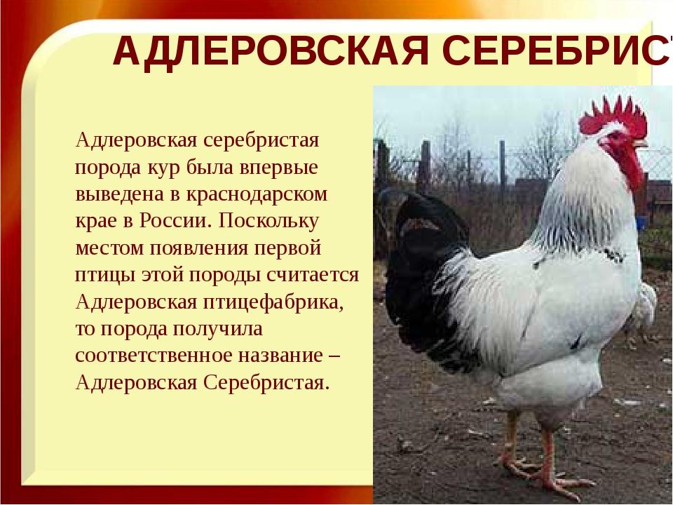 Любимая порода кур отечественных птицеводов – Адлерская серебристая