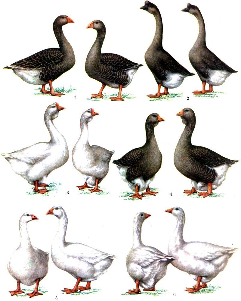 Губернаторские гуси – за какие качества порода высоко оценена птицеводами