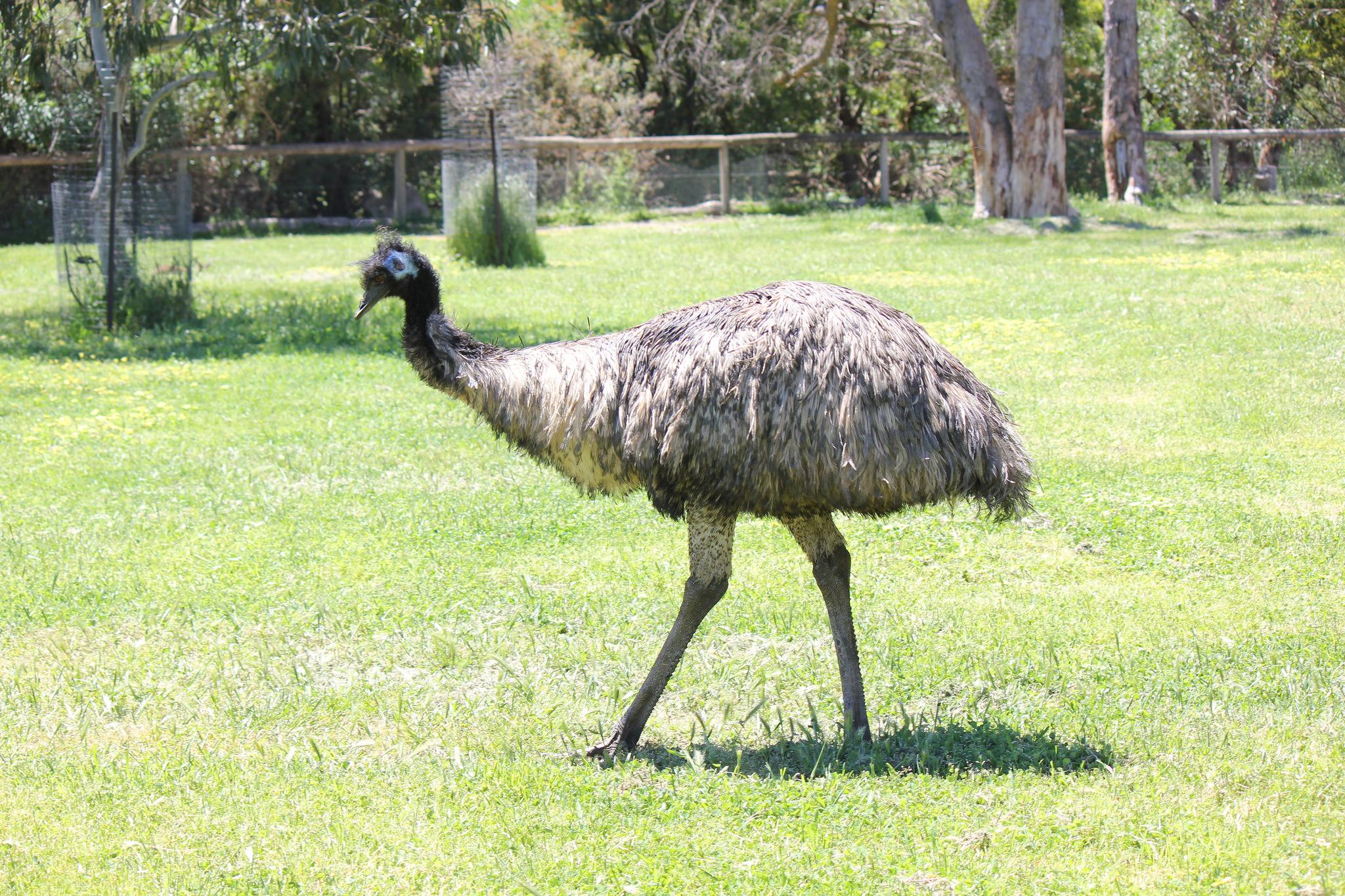 Описание и характеристика страуса Эму