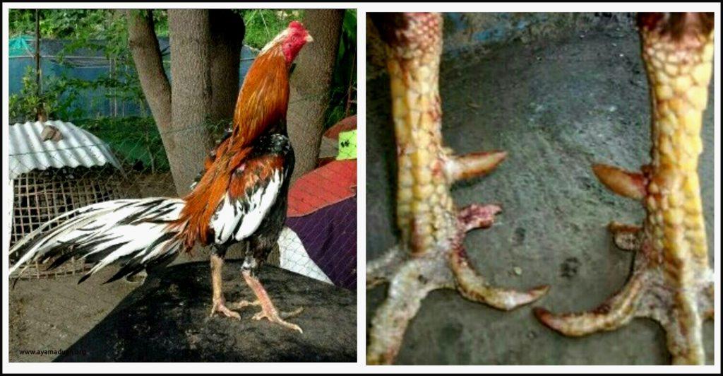 Аям-пелунг - голосистая порода кур. Описание, характеристики, содержание, выращивание и кормление