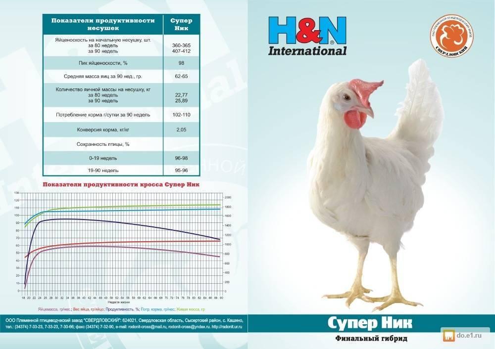 Ушанка - яичная порода кур. Характеристики, особенности выращивания, кормление, содержание