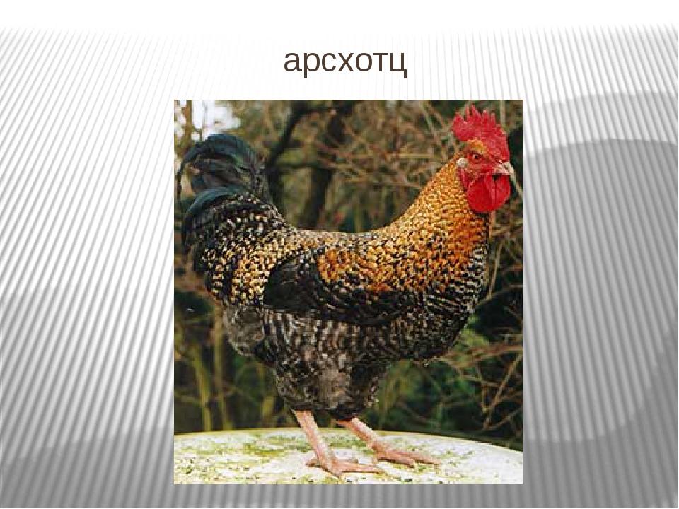 Арсхотц порода кур – описание, содержание и фото