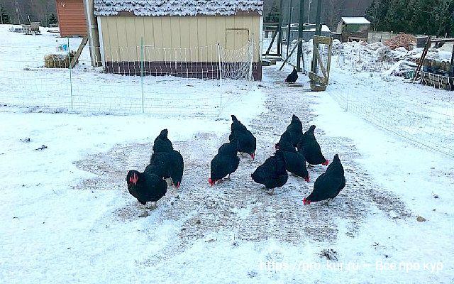 Зимовка кур в неотапливаемом курятнике