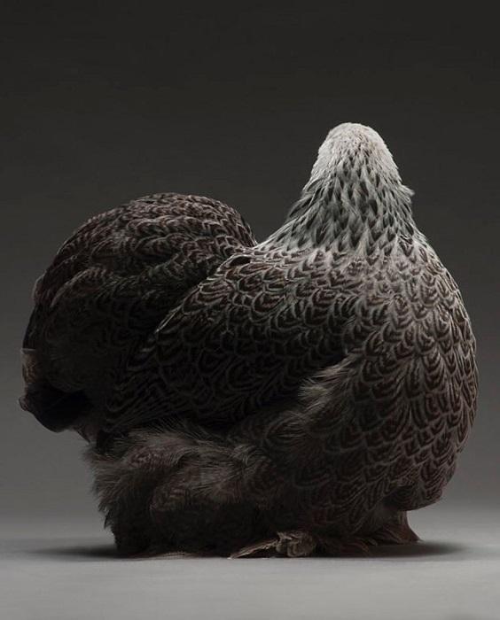 Фризская - яичная порода кур. Описание, особенности разведения, содержания и ухода, инкубация