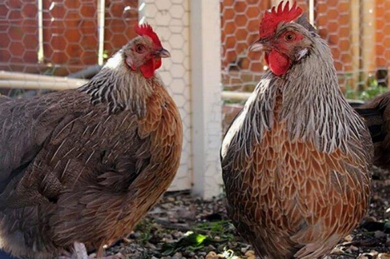 Доркинг порода кур – описание, фото и видео
