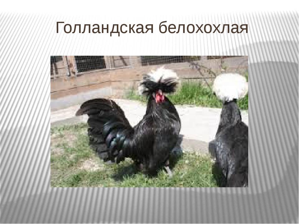 Голландская Белохохлая порода кур – описание хохлатой, фото и видео
