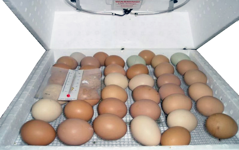 Как инкубировать куриные яйца, чтобы вывелось много цыплят