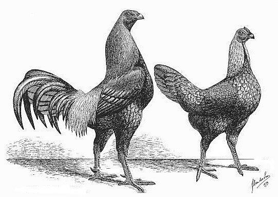 Бельгийская (Брюггская) - бойцовая порода кур. Описание, содержание и разведение, кормление, инкубация