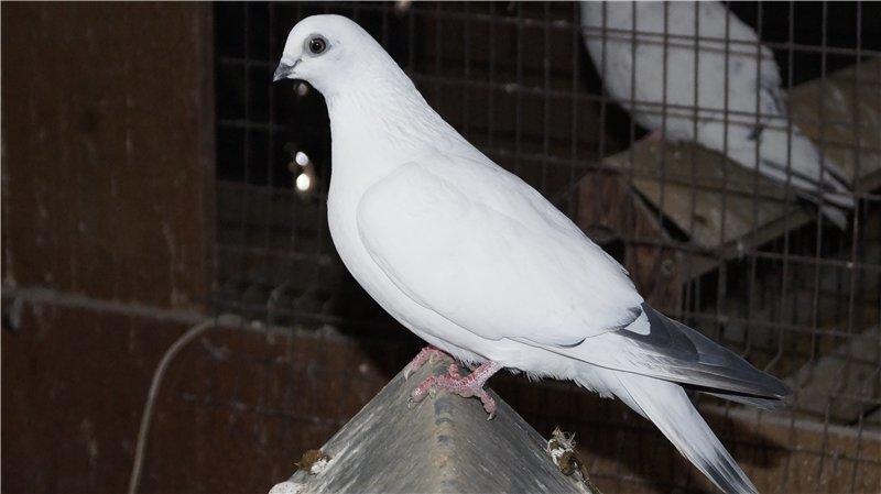 Обзор пород высоколетных голубей