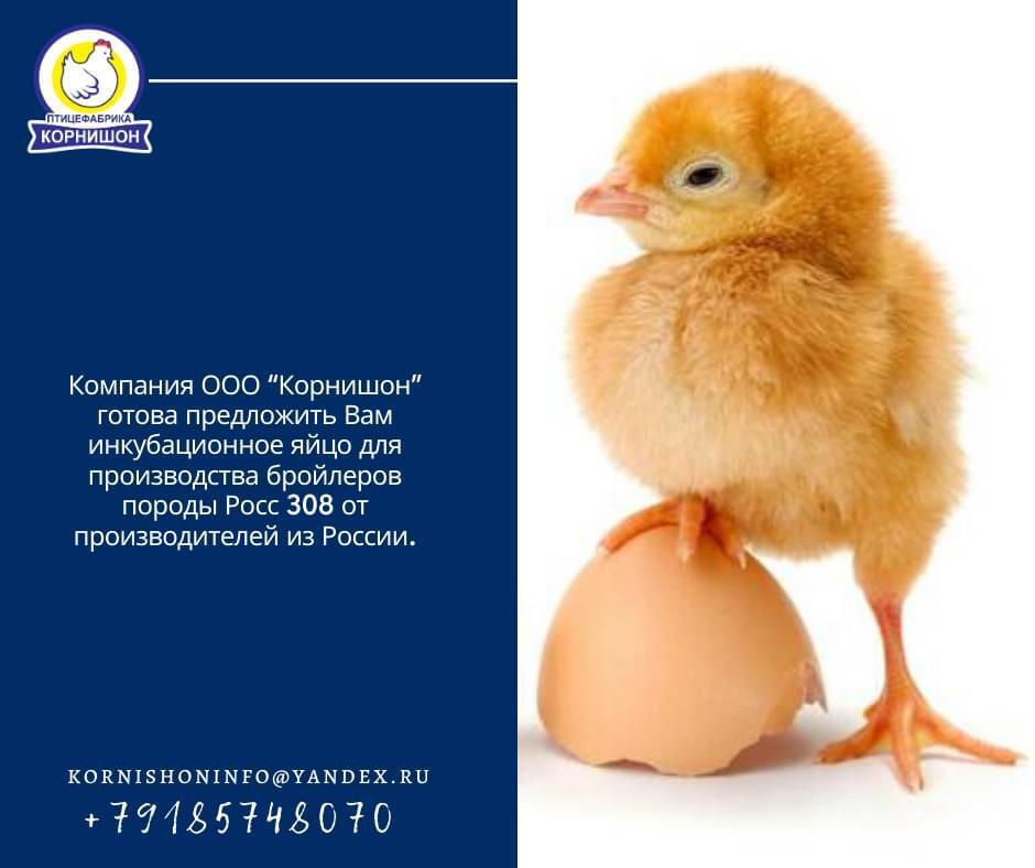 Несут ли бройлеры яйца и как они размножаются