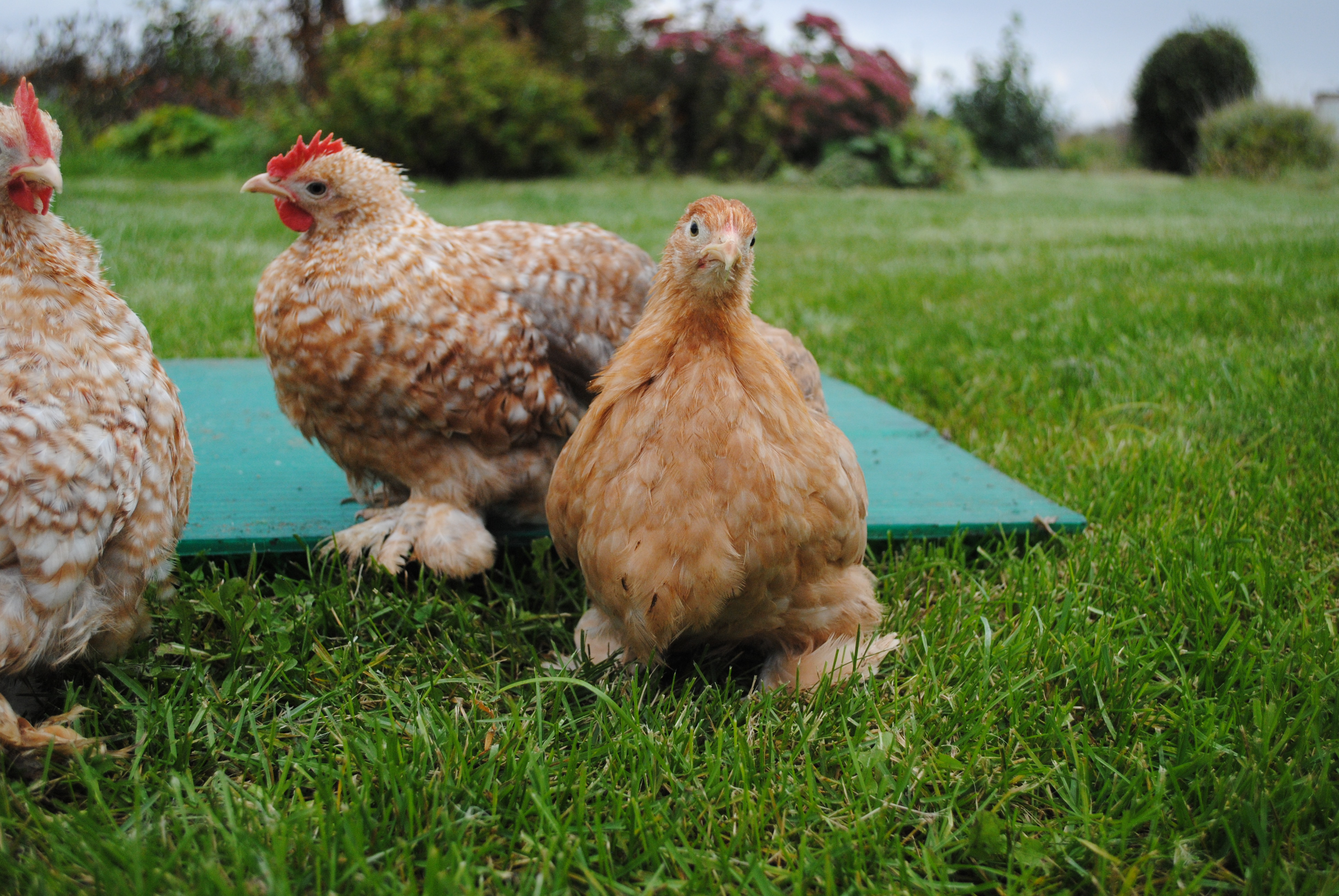 Грюнлегер порода кур – описание, фото и видео