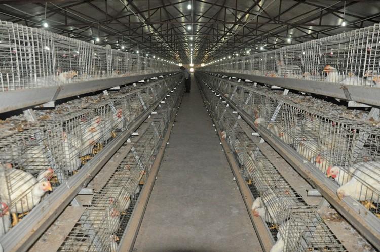 Бройлер-М - мясо-яичный кросс кур. Описание, характеристики, содержание и выращивание, кормление, инкубация