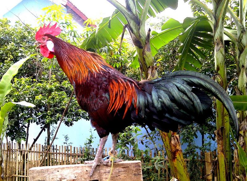 Аям Кетава порода кур – описание с фото и видео