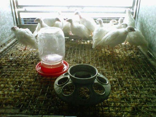 Правильный рацион перепелов для хорошей яйценоски