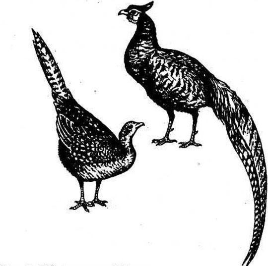 Обыкновенный фазан: описание породы, размножение и питание