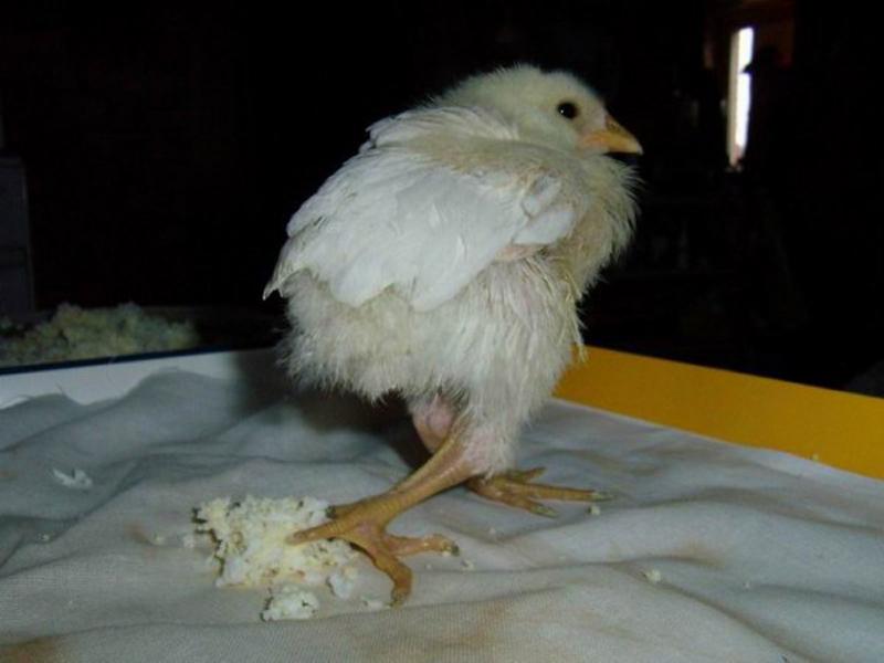 Кривая шея у цыпленка — что делать?
