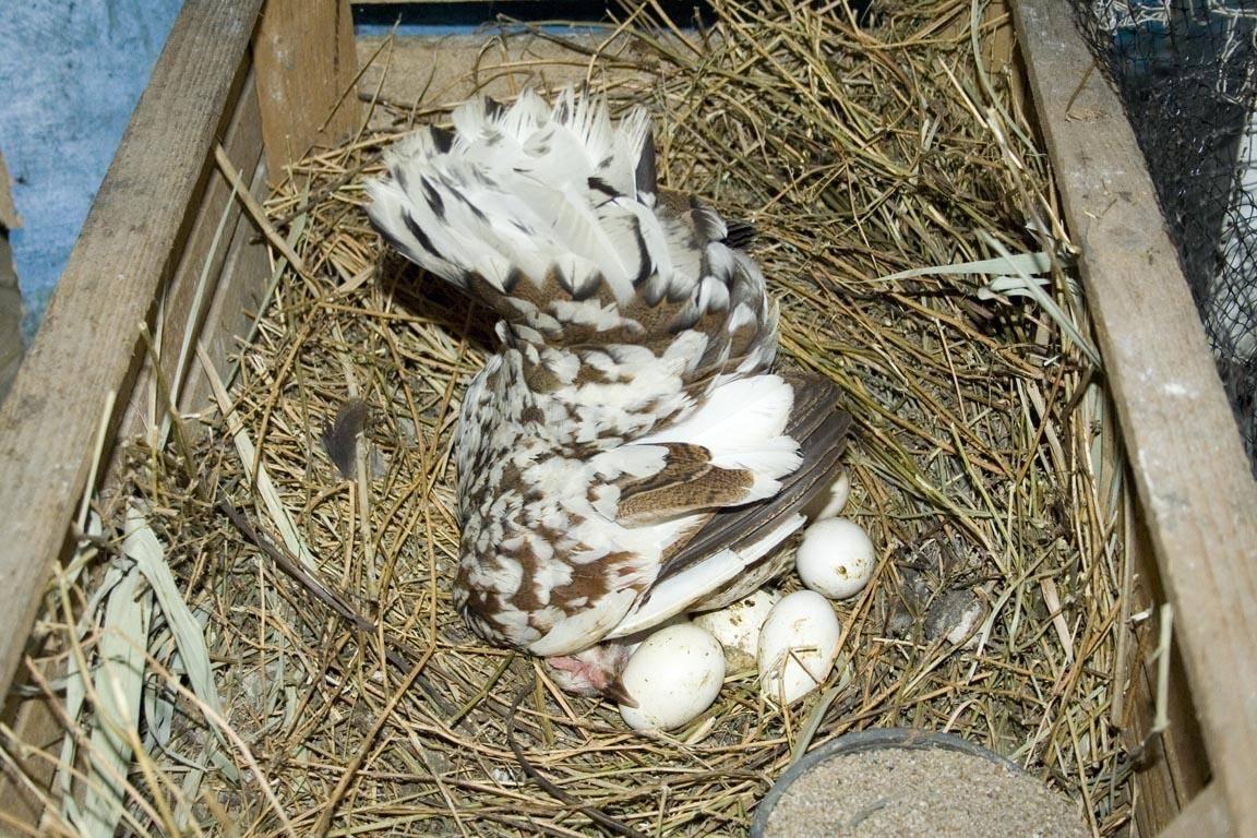 Почему курица постоянно сидит в гнезде, но не несется и что с этим делать? Причины и способы улучшения яйценоскости