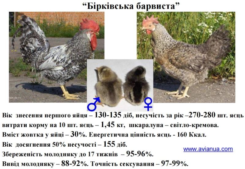 Борковские Барвистые куры несушки — описание с фото
