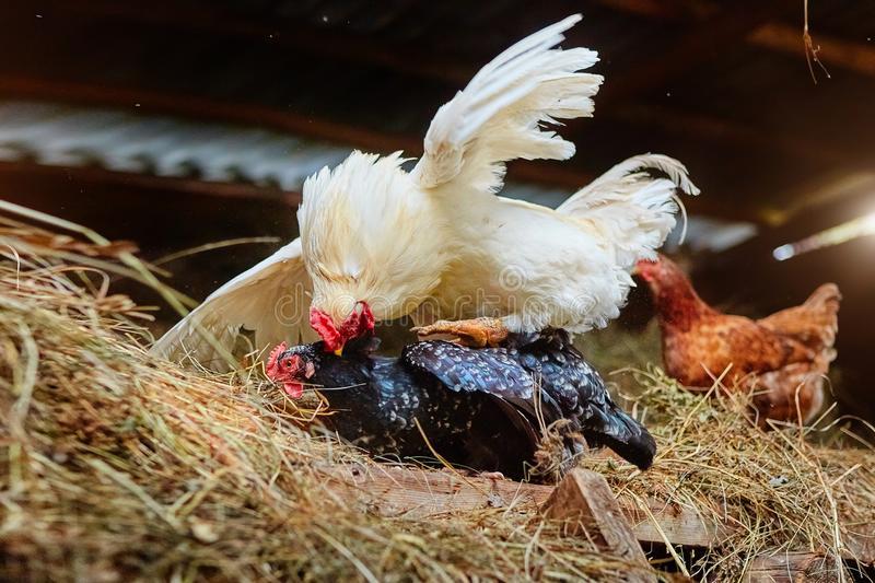 Как петух топчет курицу: тонкости процесса
