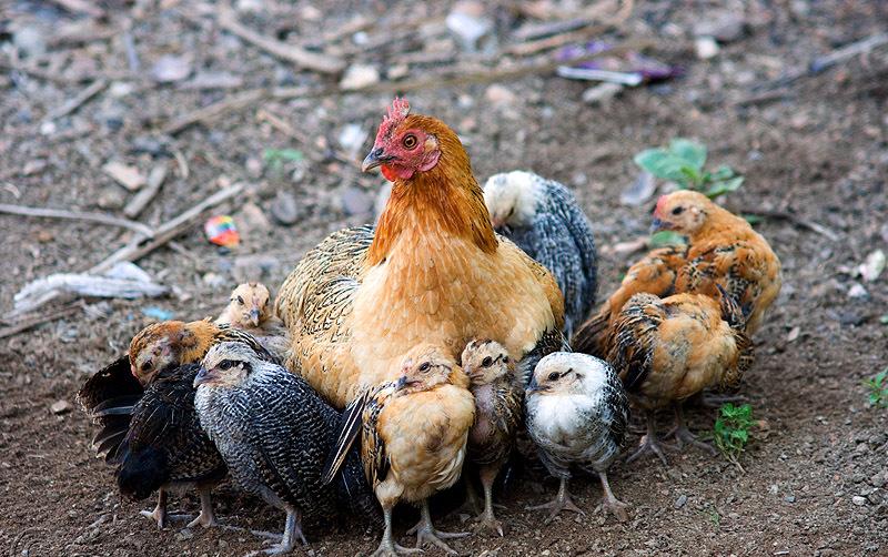 Дружба кур и цыплят с другими животными