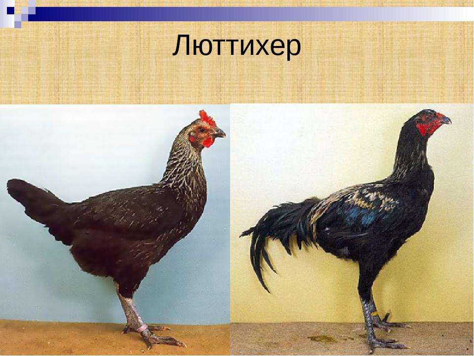 Московская бойцовая порода кур – описание с фото и видео