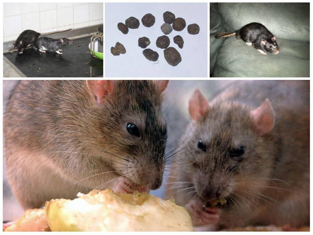 Серые крысы пасюки в доме и на участке
