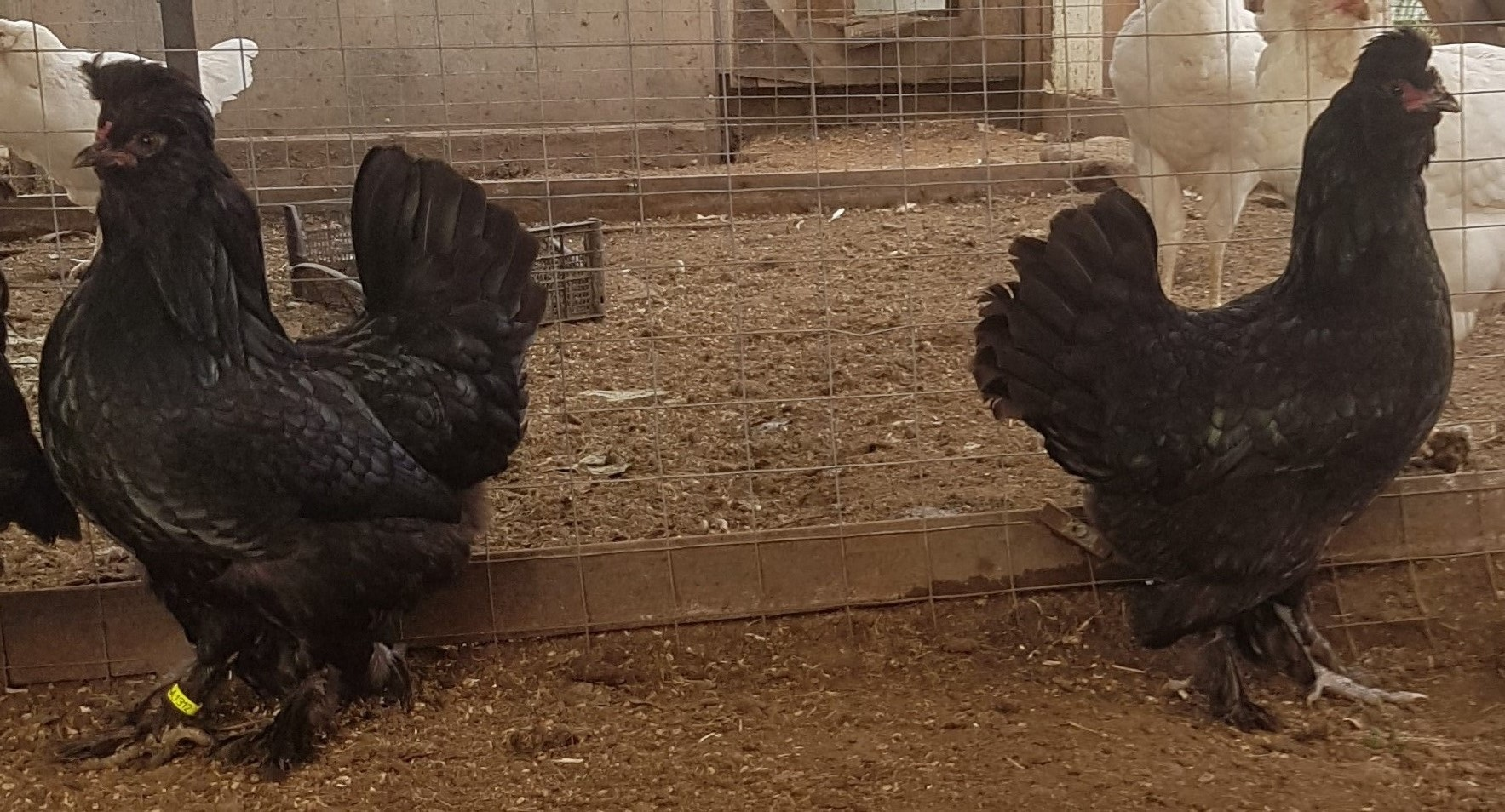 Сибирская порода кур – описание Мохноножки, фото и видео