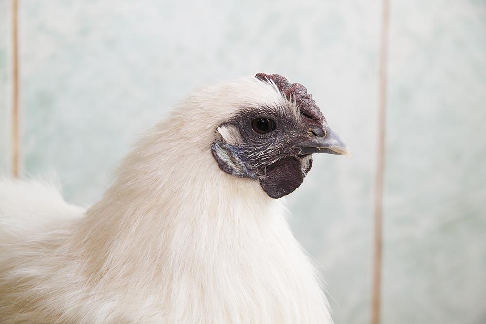 Шелковая порода кур – описание китайской, фото и видео