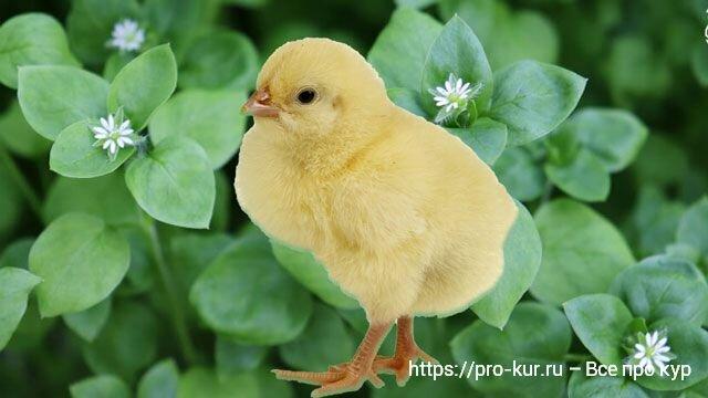 Трава мокрица в кормлении цыплят и кур