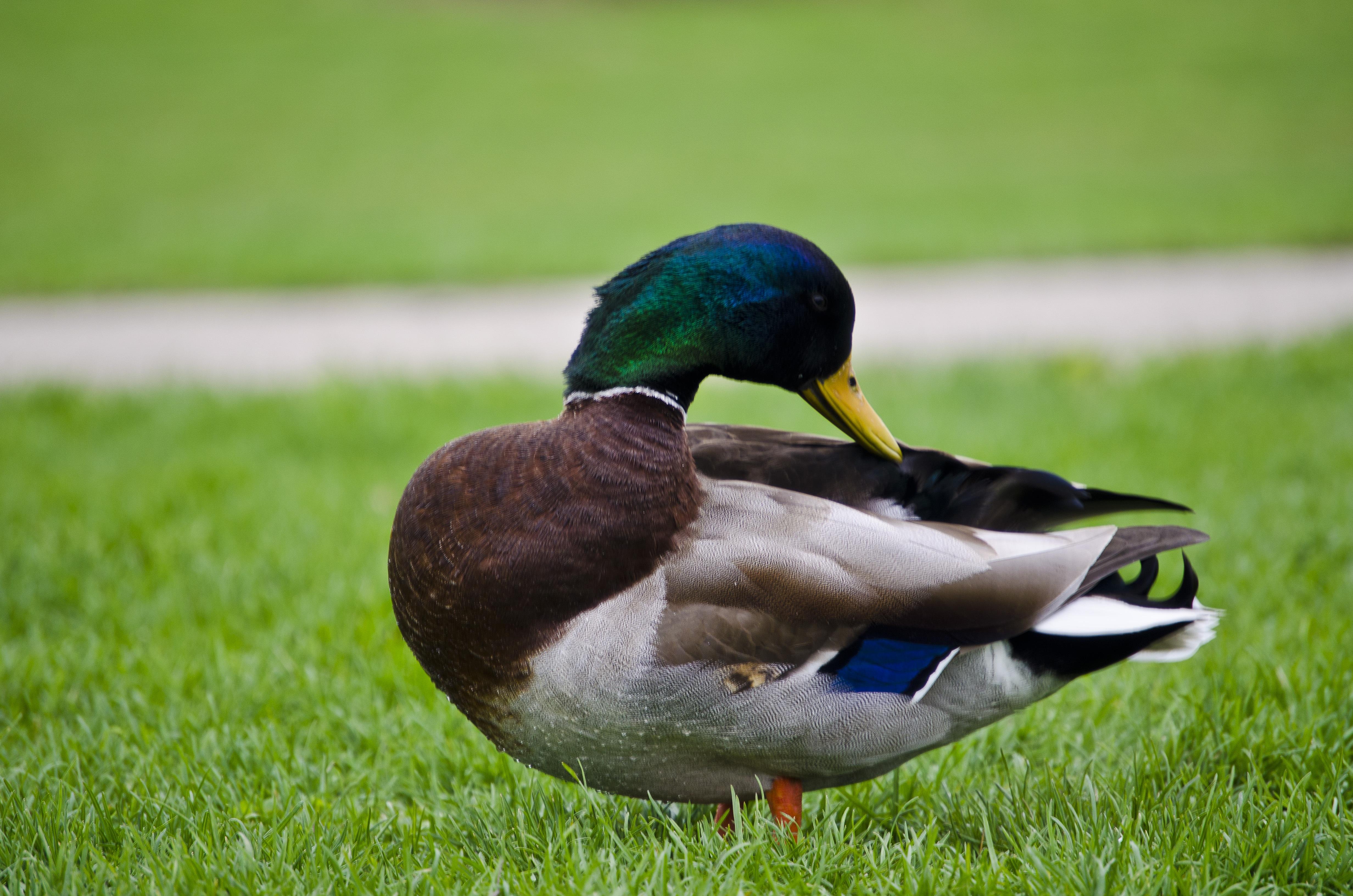 Чем примечательны голубые утки, почему считаются редкими