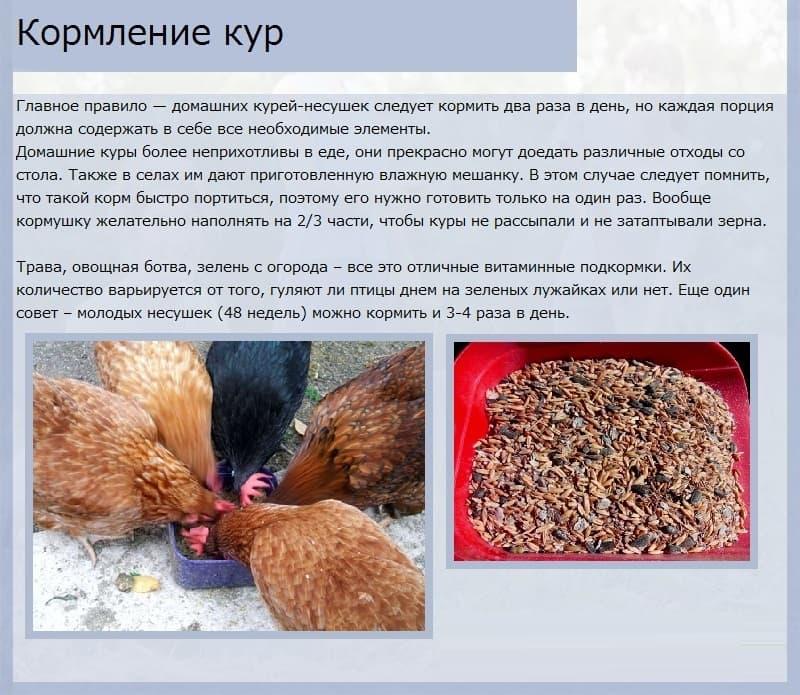 Правильное кормление кур несушек в зимнее время