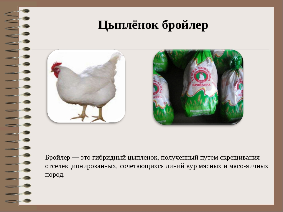 Сколько растут куры до убоя: что делать, если птицы плохо набирают вес, чем кормить бройлеров для быстрого роста?