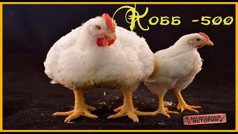 Куры породы Росс 308 бройлеры – описание и содержание, фото и видео