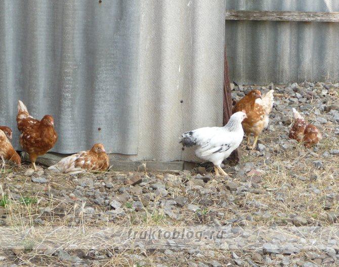 Цыплята и куры падают на ноги — причины и лечение