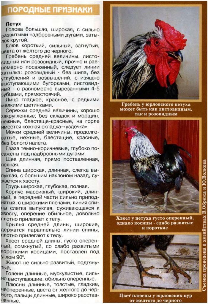 Яэрхюнс порода кур — описание с фото, характеристики