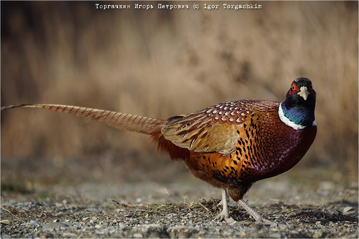 Непальские фазаны – декоративные качества, особенности содержания в домашних условиях