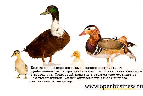 Домашние утки — общая информация