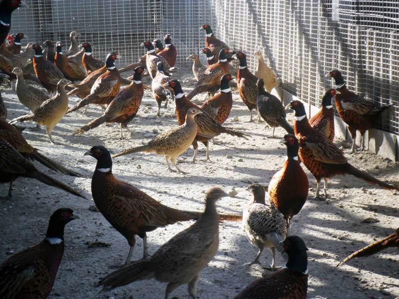 Белый фазан – с какой целью можно разводить в неволе этих красивых птиц
