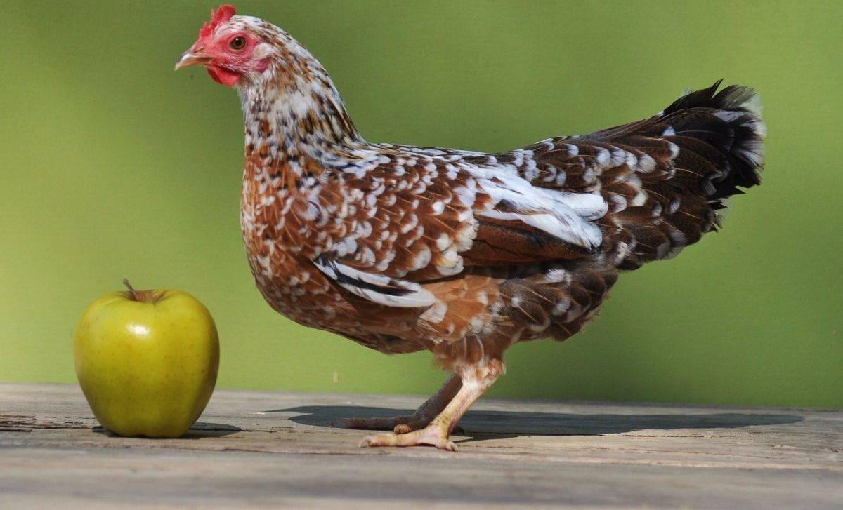 Мильфлер - декоративная порода кур. Описание, характеристика, содержание и разведение, кормление